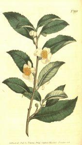 Camellia_sinensis_bohea