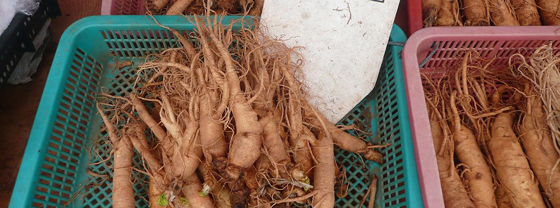 Ginseng juuria on käytetty vuosisatoja niiden terveysvaikutusten vuoksi.