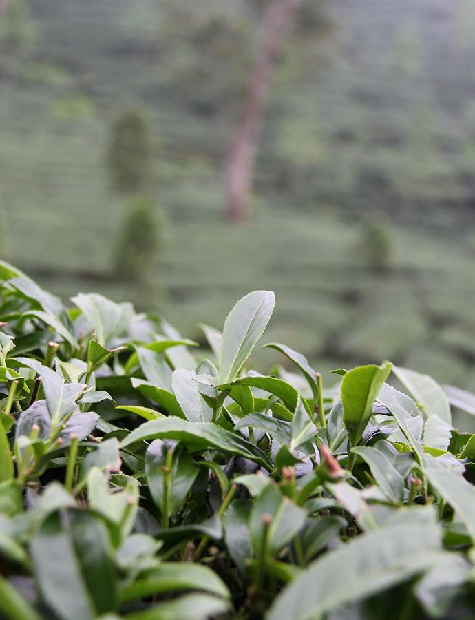 Gaoshan – Taiwanin upea vuoristo-oolong!