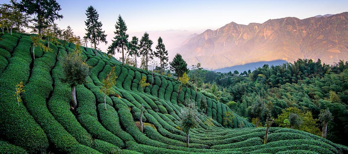 Gaoshan eli vuoristo-oolong on taiwanilaista korkealla kasvatettua teetä, jota pidetään jopa maailman parhaana oolongina. Lue lisää ja maista valikoimamme vuoristoteetä!