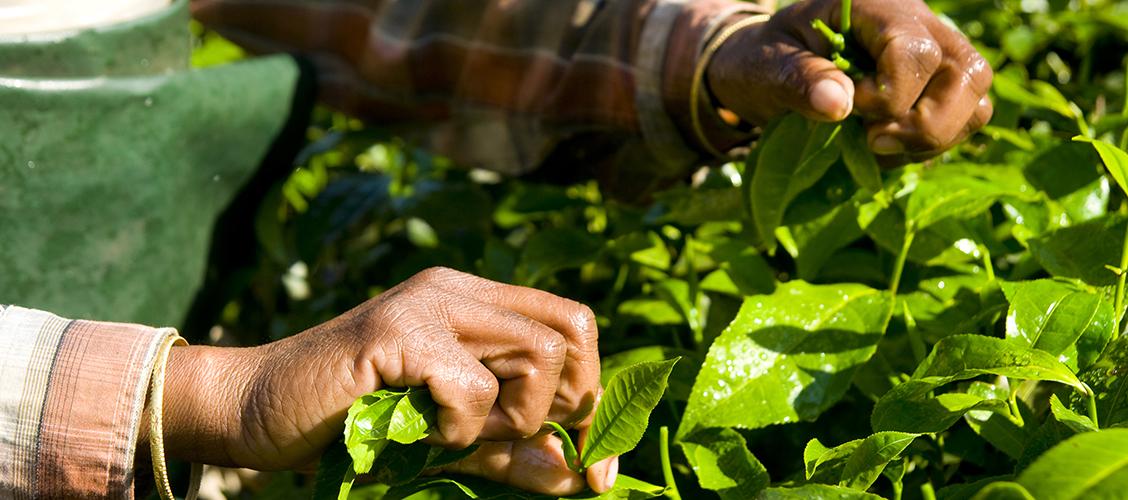 Viljelijät vastavat ilmastonmuutoksin uhkiin monipuolistamalla viljelmiään ja kehittelemällä uusi teelajikkeita.